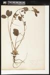 Helen J. Monahan Botanical Survey Page Image 63 by Helen J. Monahan
