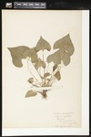 Helen J. Monahan Botanical Survey Page Image 78 by Helen J. Monahan